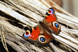 Peacock Butterfly by MaresaSinclair