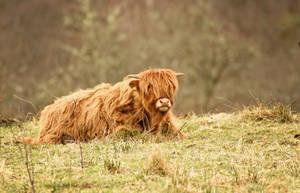 Cutest Calf by MaresaSinclair