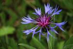 Cornflower Mountain Bluet? by MaresaSinclair