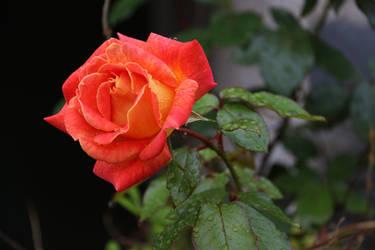 Sheila's rose