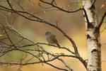 Dunnock or sparrow?