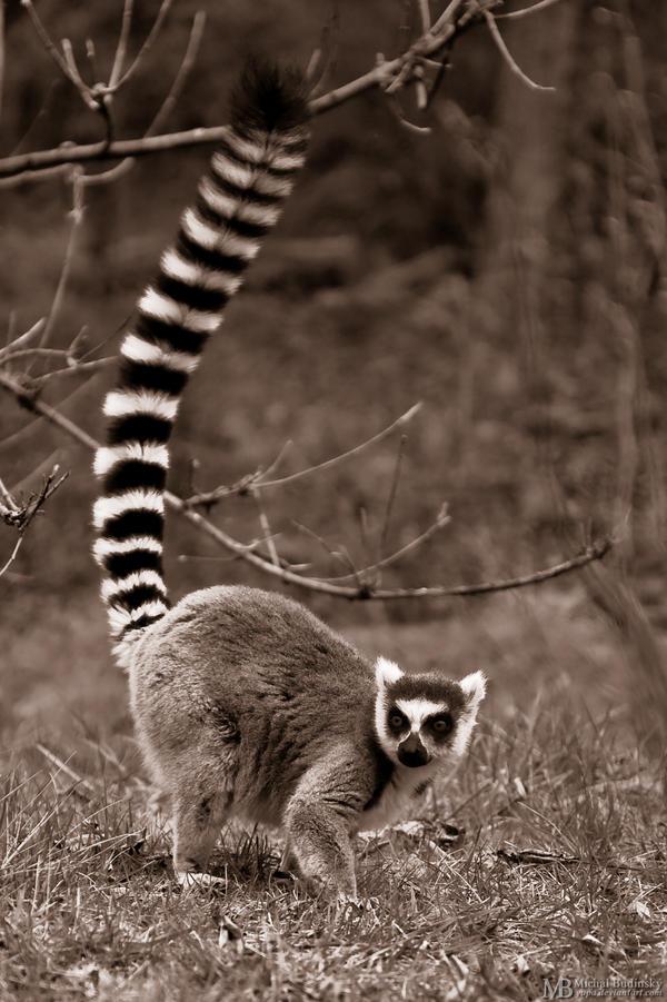 Animal de métamorphose : Nemo d'Amaël Lemur_Catta_by_Yupa