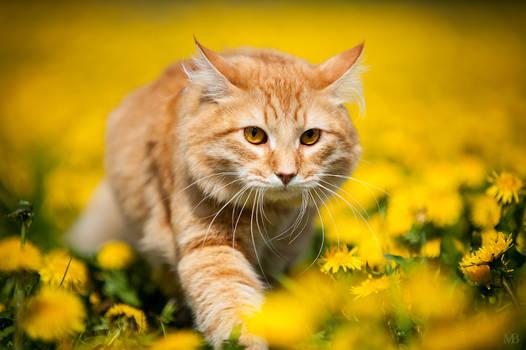 Percy on dandelion meadow