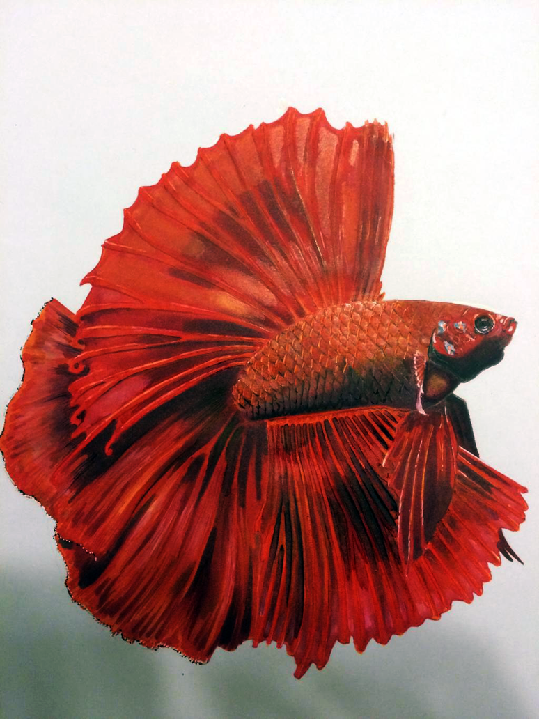 Red Double Tail Halfmoon Betta by amphirion
