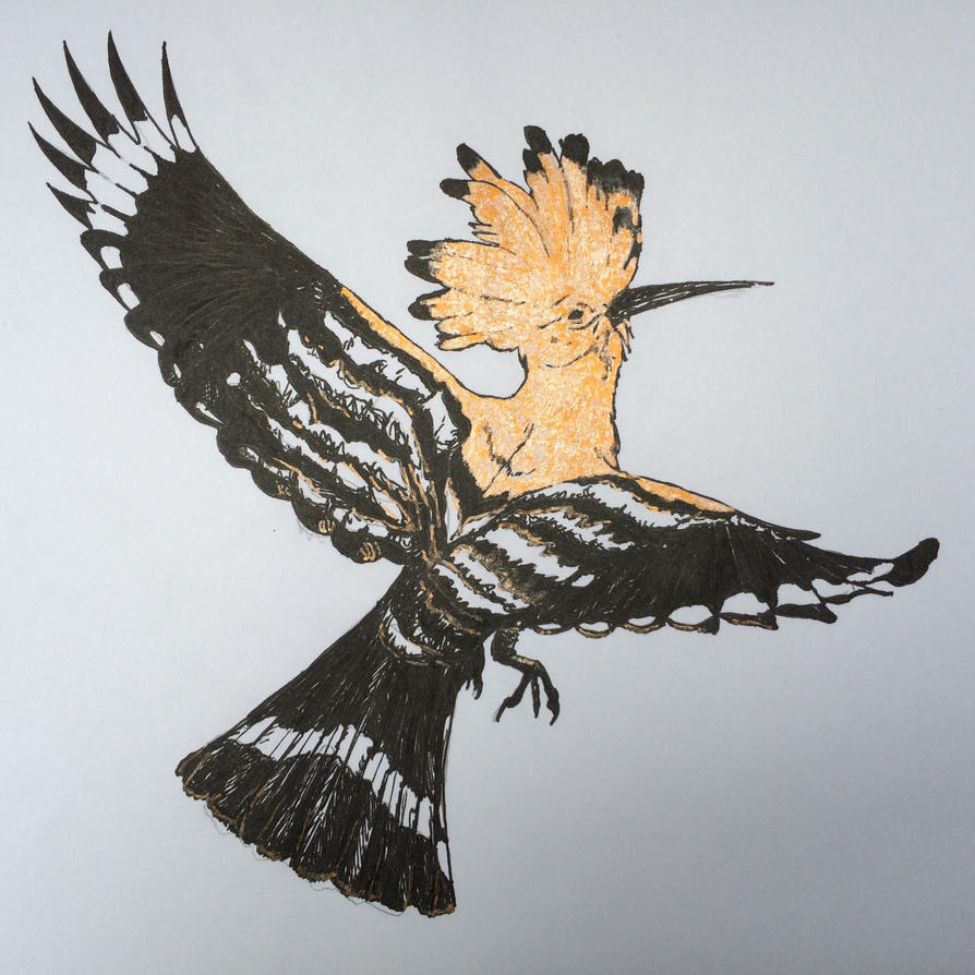 Hoopoe by Hobbscotch