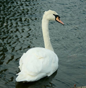 Swan I