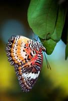 Orange butteryfly by heeeeman