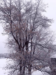 Minnesota Frosted Tree