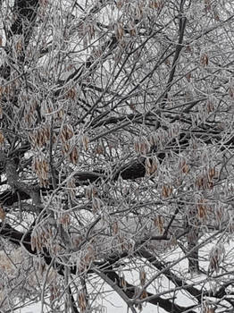 Minnesota Frosted Branches