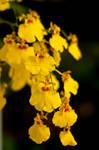 yellow fairies