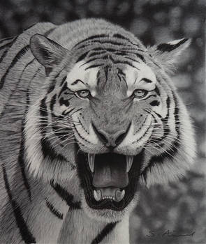 Tiger growling in Pencil