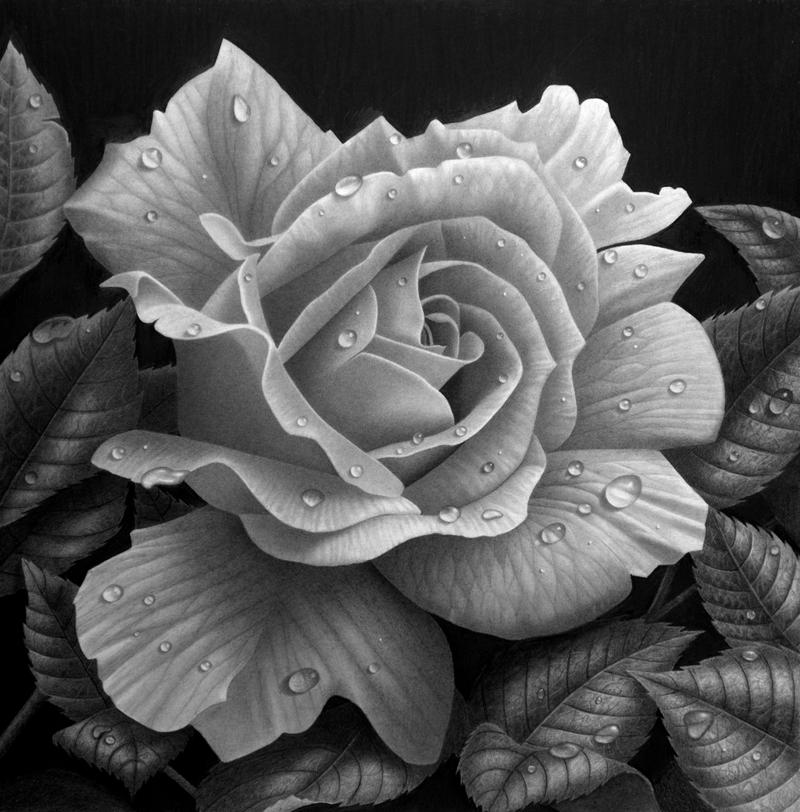 Rose study by StephenAinsworth