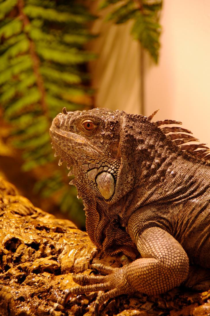 Iguana by ApoTerra