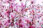 Saucer Magnolia II