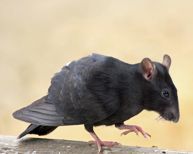 pigeon_rat_by_klappscheinwerfer-d68ukbh.jpg