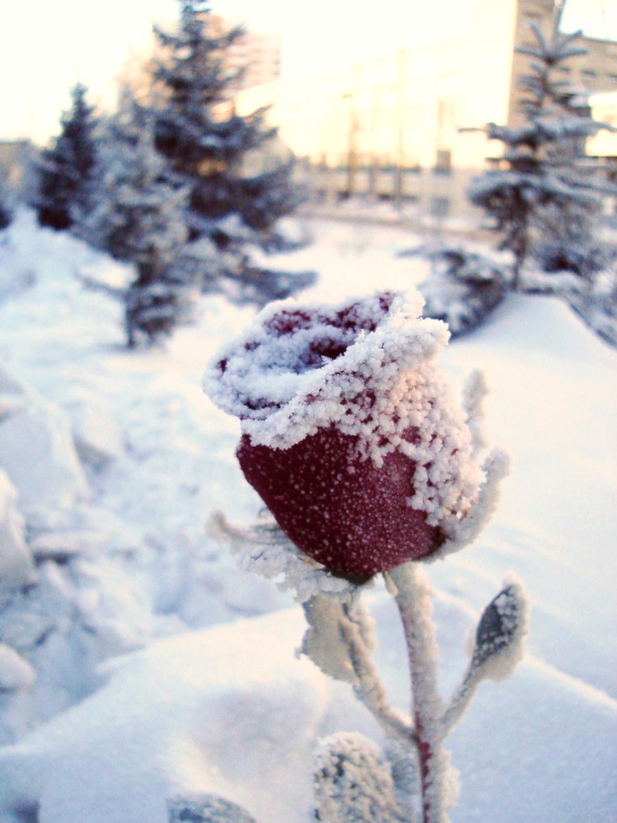 winter rose by melissalina on deviantart. Black Bedroom Furniture Sets. Home Design Ideas