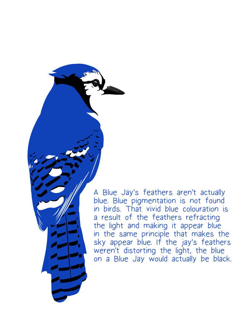 Blue Jay Fact Friday by snowbringer