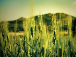 Golden Field by sican