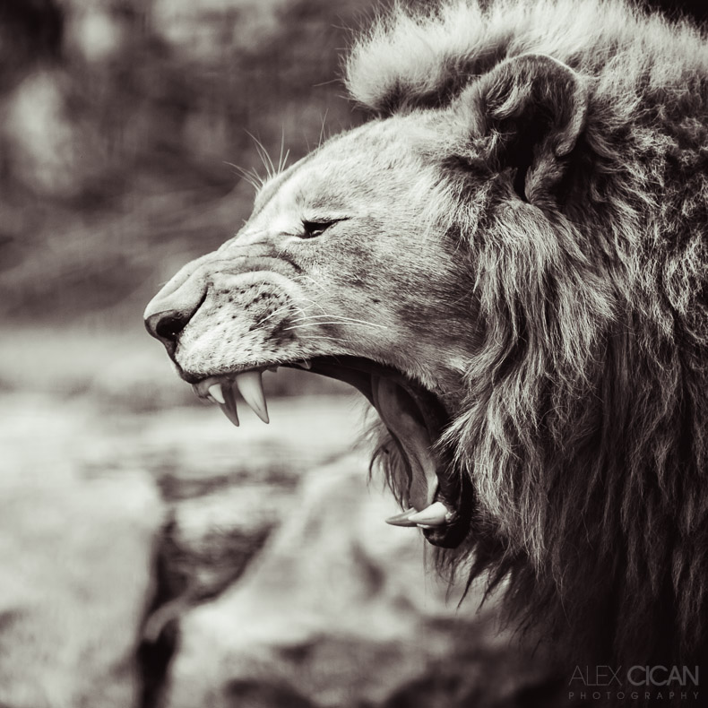 Portrait of a lion by sican