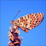 Butterfly at sunset by FlorentCourty
