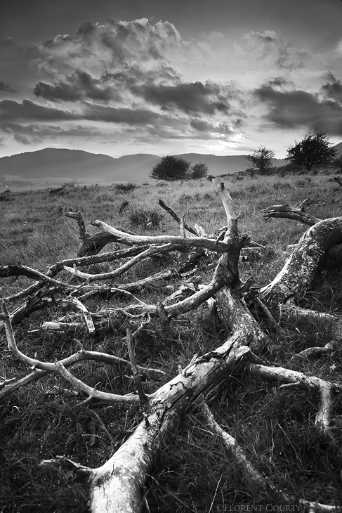 Dead Pine by FlorentCourty