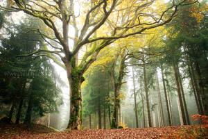 Lordly Oak