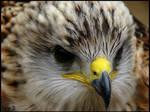 Red kite: Deepy eyes
