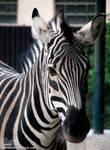 Zebra: I'm not Stripes