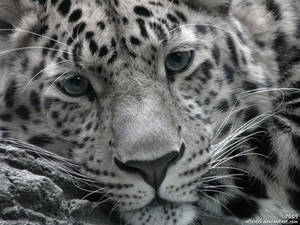 Leopard: Why so serious?