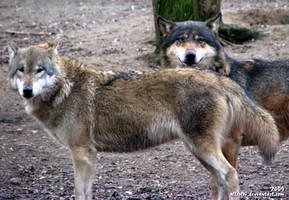 Wolves: Boja and Lobo by Allerlei