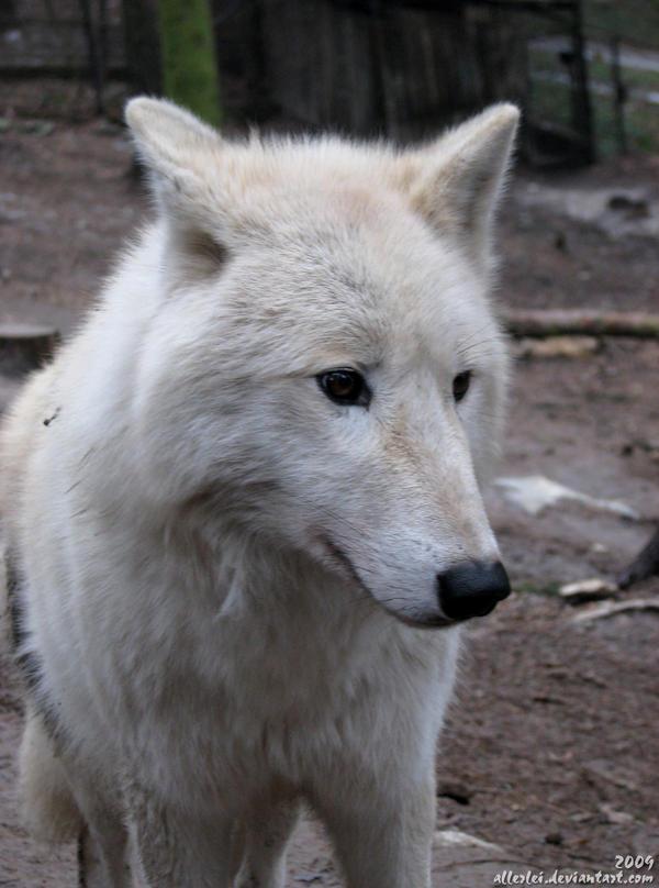 Sad Wolf | Auto Design Tech