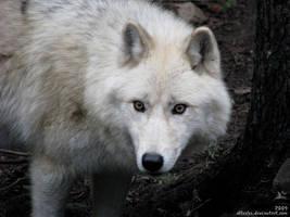 Arctic wolf: Stony glare by Allerlei