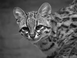 Oncilla: Miss Kitty by Allerlei