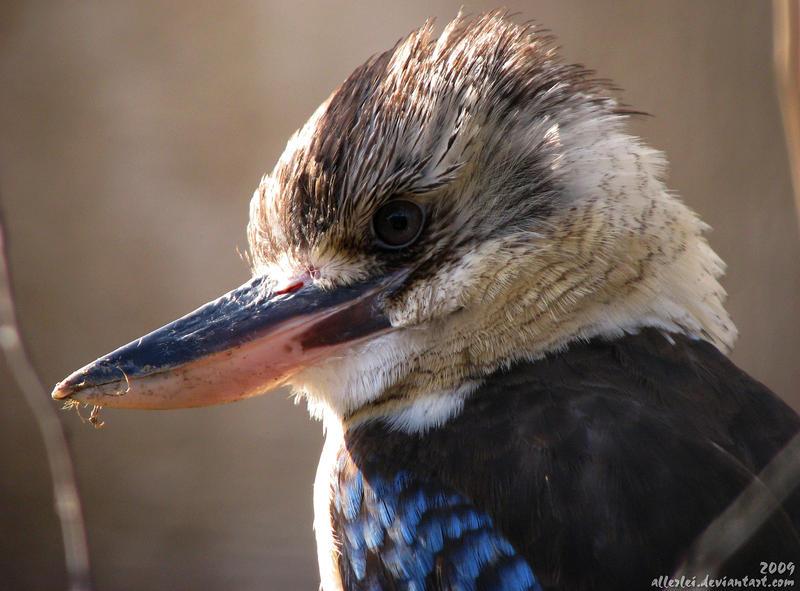 Kookaburra, Koo-koo-koooo by Allerlei