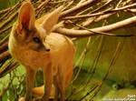 Fennec Fox: Standing alien