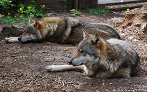 Wolf: Brotherhood by Allerlei