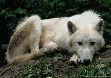 Arctic wolf cub looks sad by Allerlei
