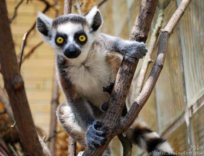 Lemur baby: Wheheee by Allerlei