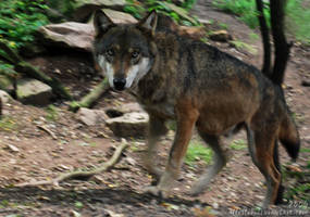 Wolf: Sharp face by Allerlei