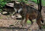 Wolf: Sharp face