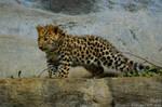 Curious amur leopard baby