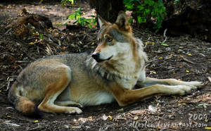 Wolf: Anybody calls me? by Allerlei