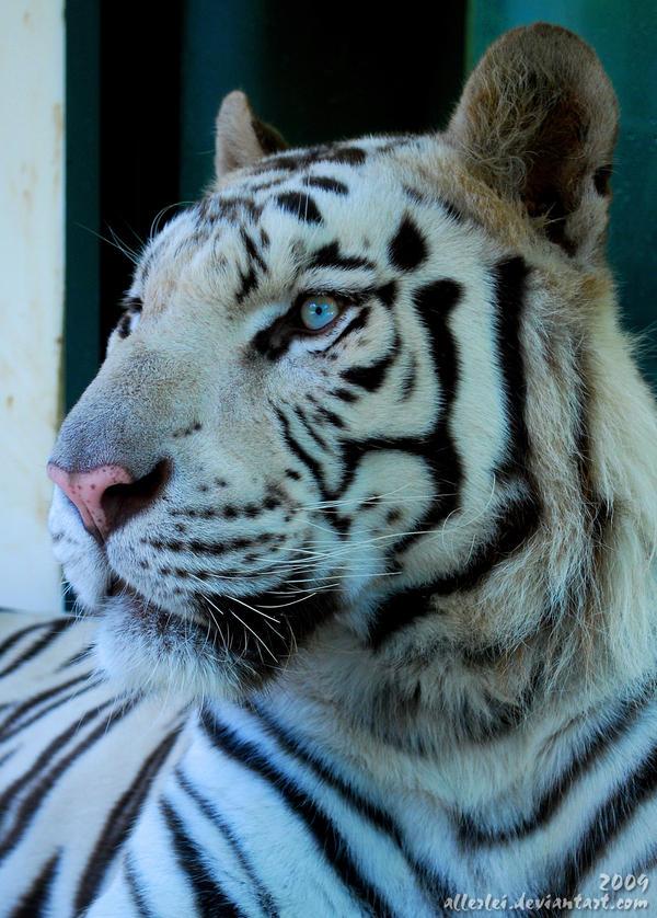 White tiger: Dreamy dreamer by Allerlei