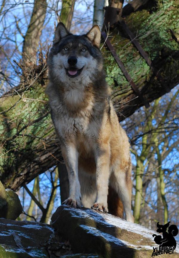 Wolf's Pride Rock by Allerlei