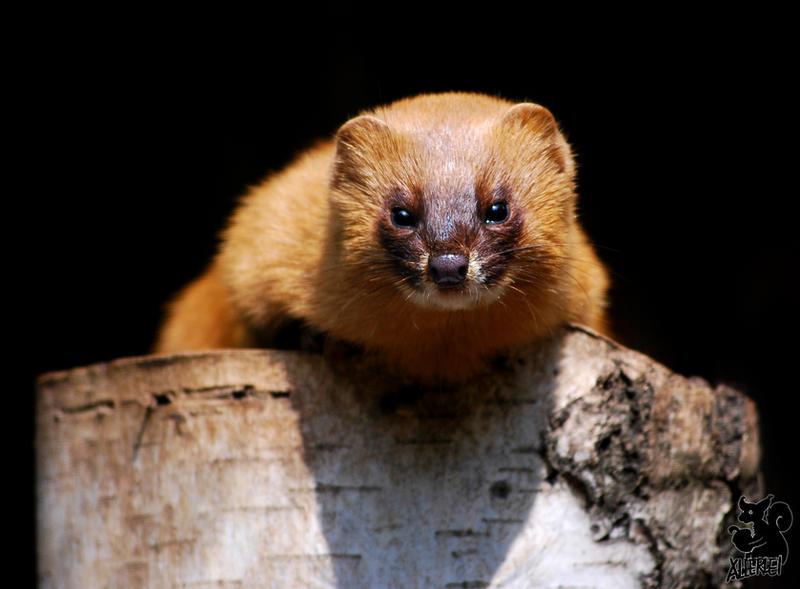 http://fc09.deviantart.net/fs70/i/2010/128/0/9/The_most_curious_Weasel_by_Allerlei.jpg