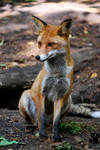 Fox is waiting for a friend?