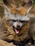 Yawning foxie
