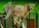 Wild cat in civilisation