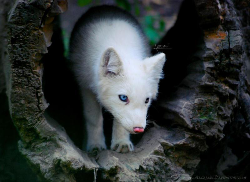 White polar fox baby by Allerlei