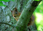Swedish squirrel